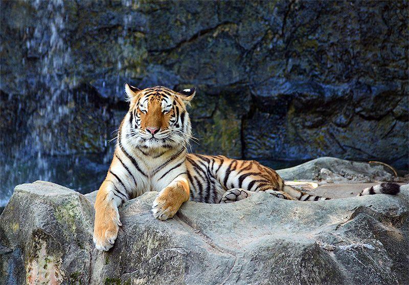 機嫌がよさそうな虎の画像